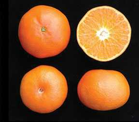 Learn The Licensing Process Behind The US Early Pride Tangerine