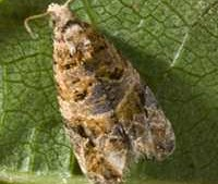 No European Grapevine Moths Found In Napa County Since 2013