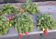 Undercover Strawberry