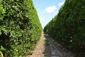 Latest Forecast Calls For Florida Citrus Crop To Drop