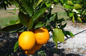 Florida Citrus Crop Predicted To Be Up Slightly