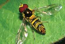 Beneficial Of The Month: Syrphid Flies