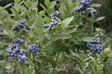 Blueberry Report: Counting On Cultivars