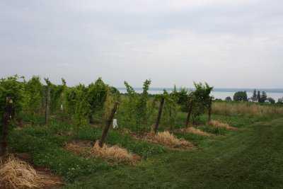 New Program Helps Pennsylvania Vineyards Improve Health Of Lake Erie