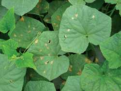Fighting Downy Mildew