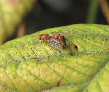 Pest Of The Month: Spotted Wing Drosophila