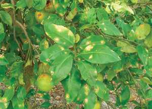Fungicide Gets Clearance For Canker Control In Florida Grapefruit