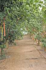 Citrus Nursery Source: Wood To Chop