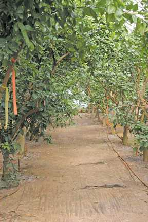 Florida Citrus Nurseries Running At Full Capacity