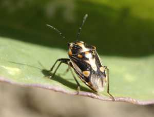 Bagrada Bug Continues To Spread In California's Brassica Crops
