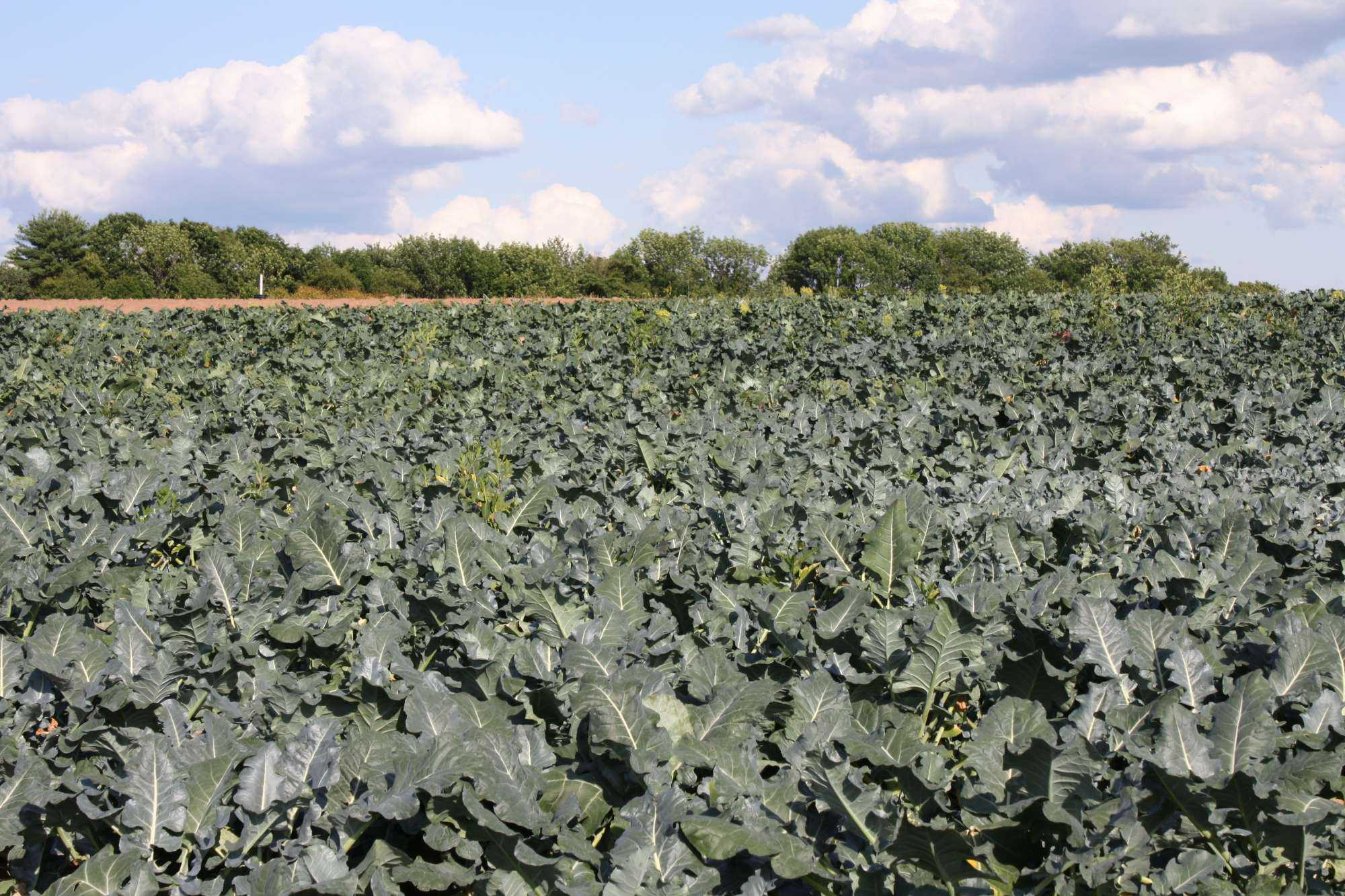 Broccoli field