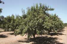 Bee Free Almond Tree