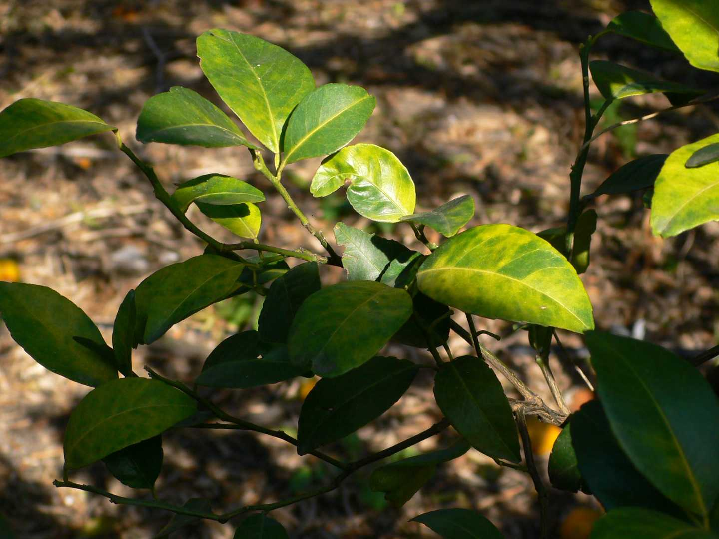 Report: Single Big Breakthrough Unlikely for Citrus Greening Cure