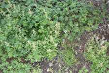 Mix of annual winter weeds in a blueberry field