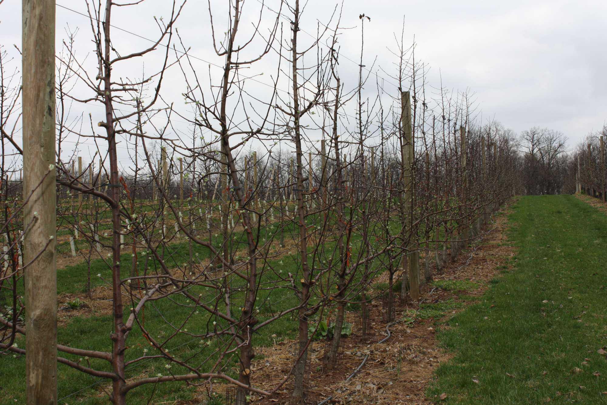 High-Density Orchard
