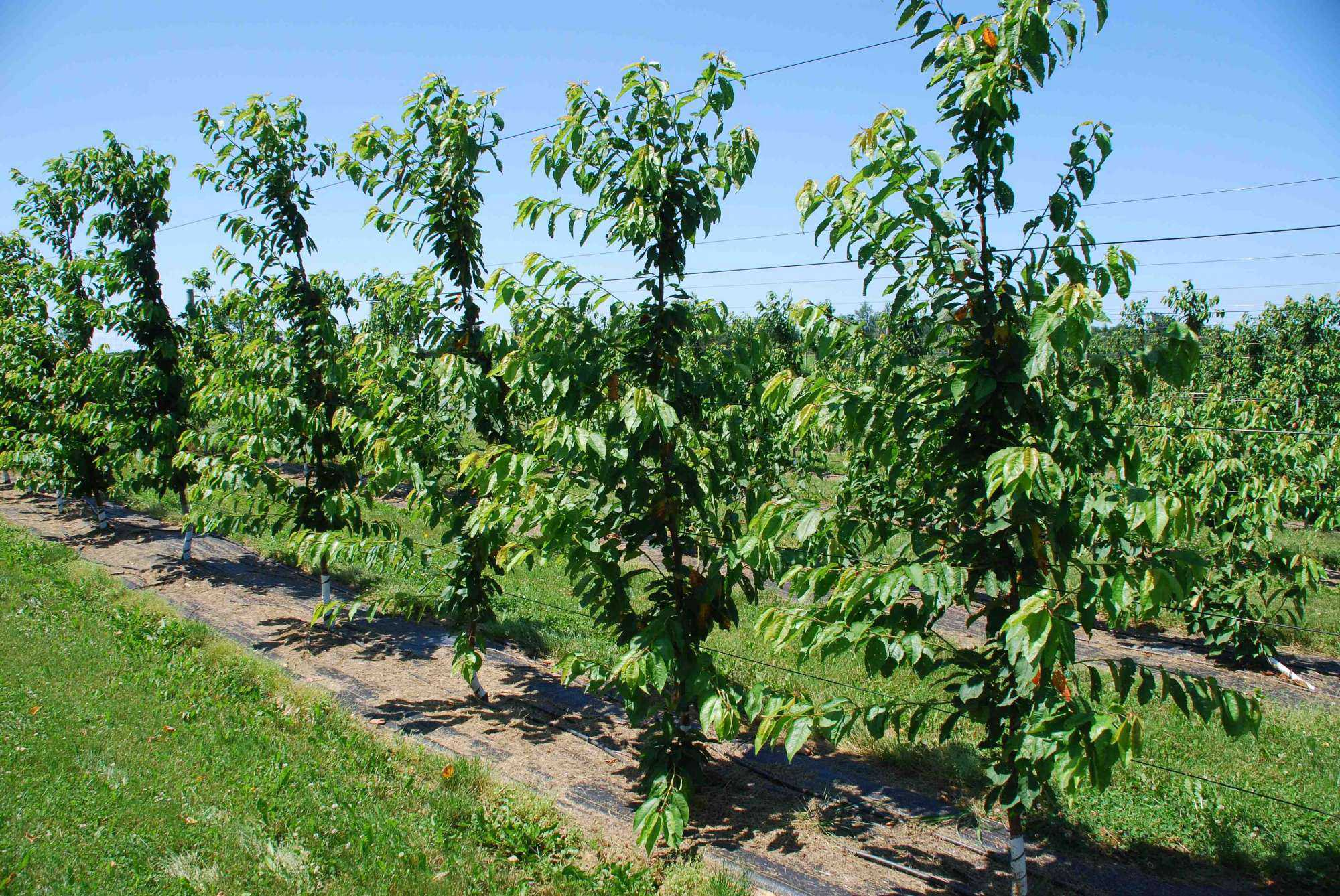 How Canopy Structures Can Affect Sweet Cherry Productivity