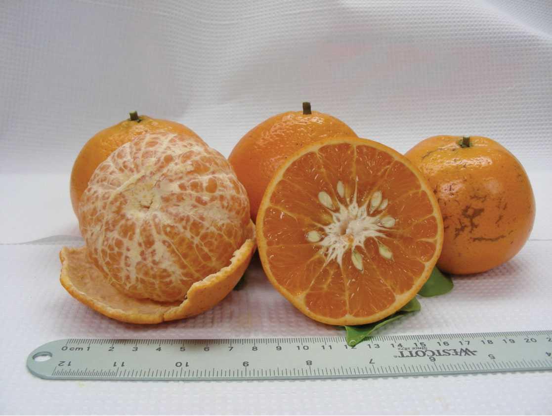 9 New Citrus Varieties Face Trial
