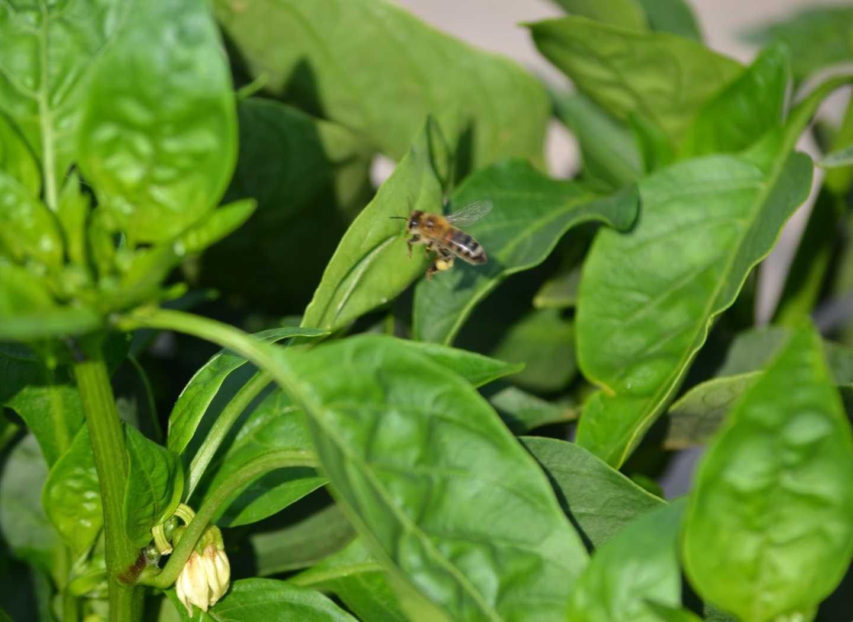 Insect Pollinators Contribute $29 Billion To U.S. Farm Income
