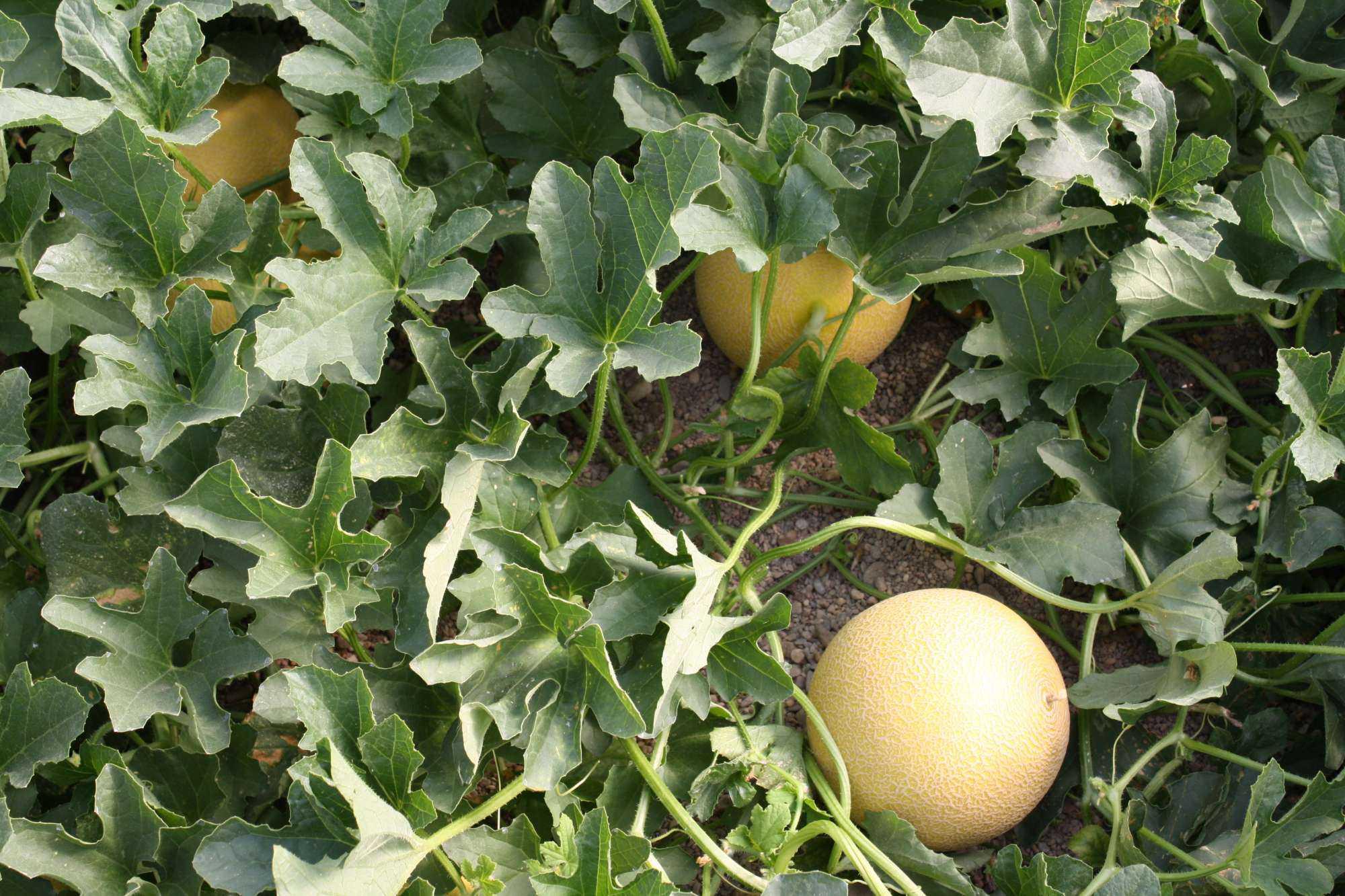 Melon Genome Study Discloses Impacts Of Breeding