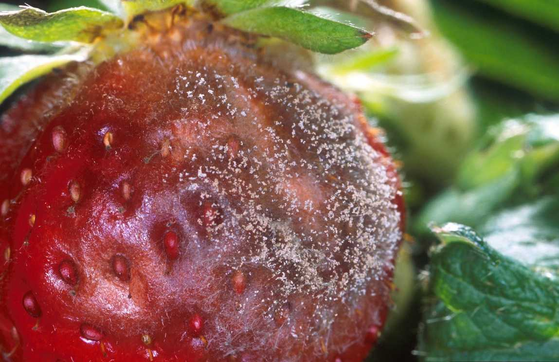 Expert Systems Provide Dividends To Strawberry Growers