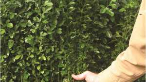 Scientists ID Citrus Cultivars Cut Out For Battle Against Greening