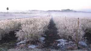 Arctic Blast Gives Southern Fruit Growers the Chills