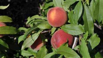 UFSharp peach