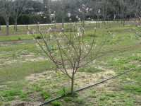 Florida peach tree
