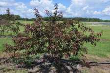 Flordaguard peach rootstock