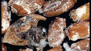 Navel Orangeworm Control Needed