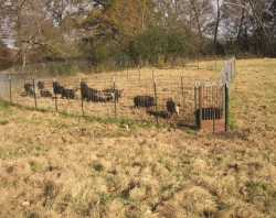 Feral hogs confined in a pen.