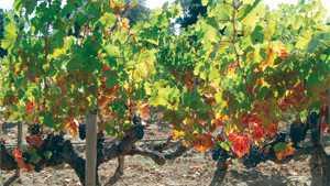 New Grape Virus Found