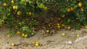 Dissecting Citrus Fruit Drop And What To Do Next Season