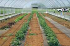 Strawberries In High Tunnels