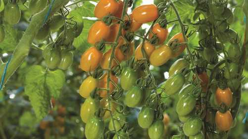 Nature Fresh Farms To Open New 175-Acre Greenhouse In Ohio