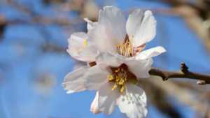 What Almond Growers Should Consider In Case Of Rain