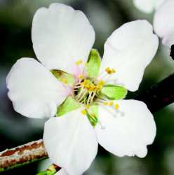 Almond With Five Petals