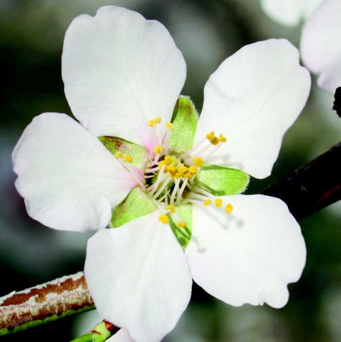 Almond Blossoms With Five Or Six Petals Growing Produce