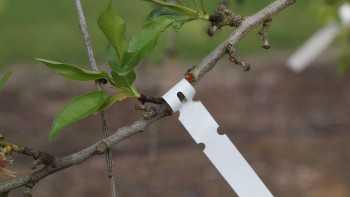 Almond Leaf Sampling