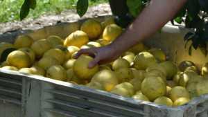Florida Citrus Forecast Continues Free Fall