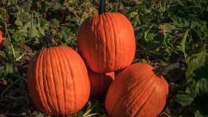 Pumpkin Offerings