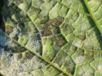 Downy and powdery mildew on pumpkin leaves