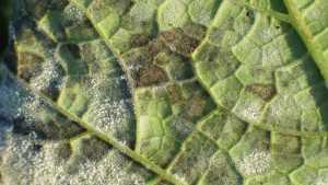 Mildew Control In Organic Cucurbits