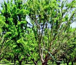 Almond Tree Glyphosate Damage 1