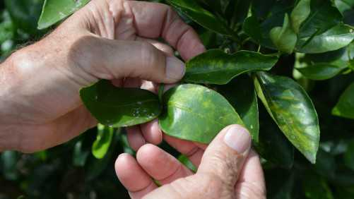 EPA Approves New Product for Control of Citrus Greening