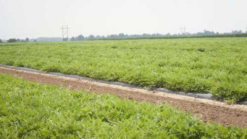 Adding Wildflowers To Watermelon Fields May Help Increase Yields