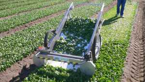 Mechanical Harvesting For Leafy Greens