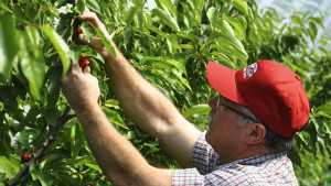 Early Cherry Harvest In Pacific Northwest