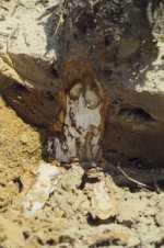 Armillaria Root Rot Symptoms
