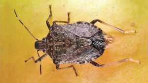 Stink Bug Heads West